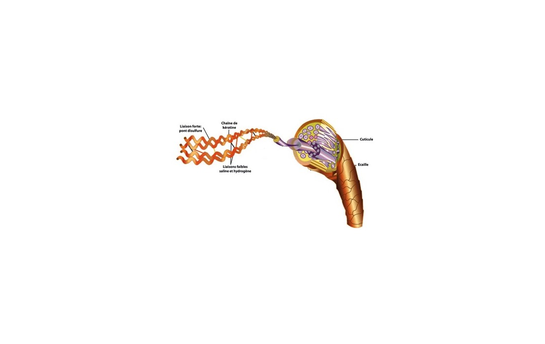 Structure et Anatomie du Cheveu Kératine